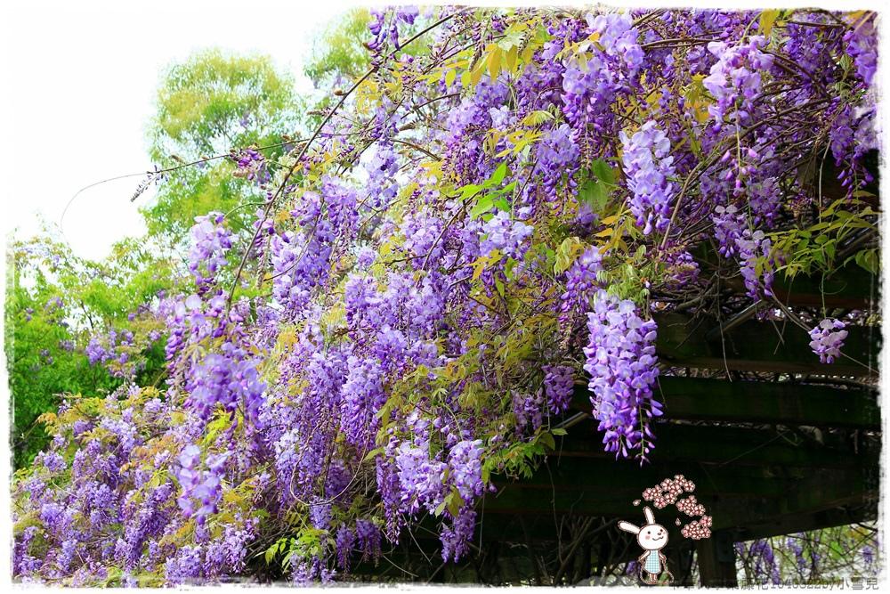 中華大學紫藤花1040322by小雪兒IMG_8279.JPG