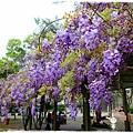 中華大學紫藤花1040322by小雪兒IMG_8281.JPG