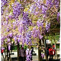 中華大學紫藤花1040322by小雪兒IMG_8314.JPG