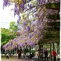中華大學紫藤花1040322by小雪兒IMG_8320.JPG