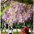 中華大學紫藤花1040322by小雪兒IMG_8322.JPG