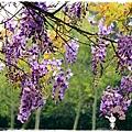 中華大學紫藤花1040322by小雪兒IMG_8326.JPG