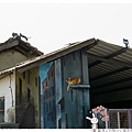 屋頂上的貓by小雪兒的窩1040803IMG_8961 063.JPG