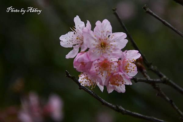 櫻花 (2).JPG