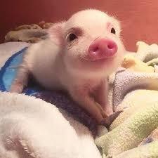 可愛的豬豬