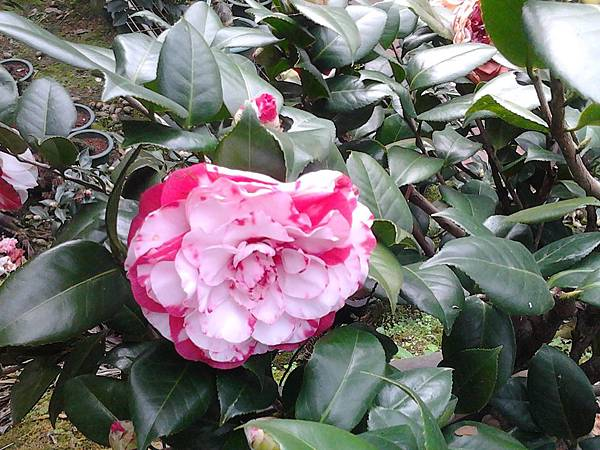 紐西歐貝拉大玫瑰