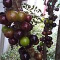 樹葡萄即將成熟
