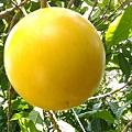 冬季黃金果