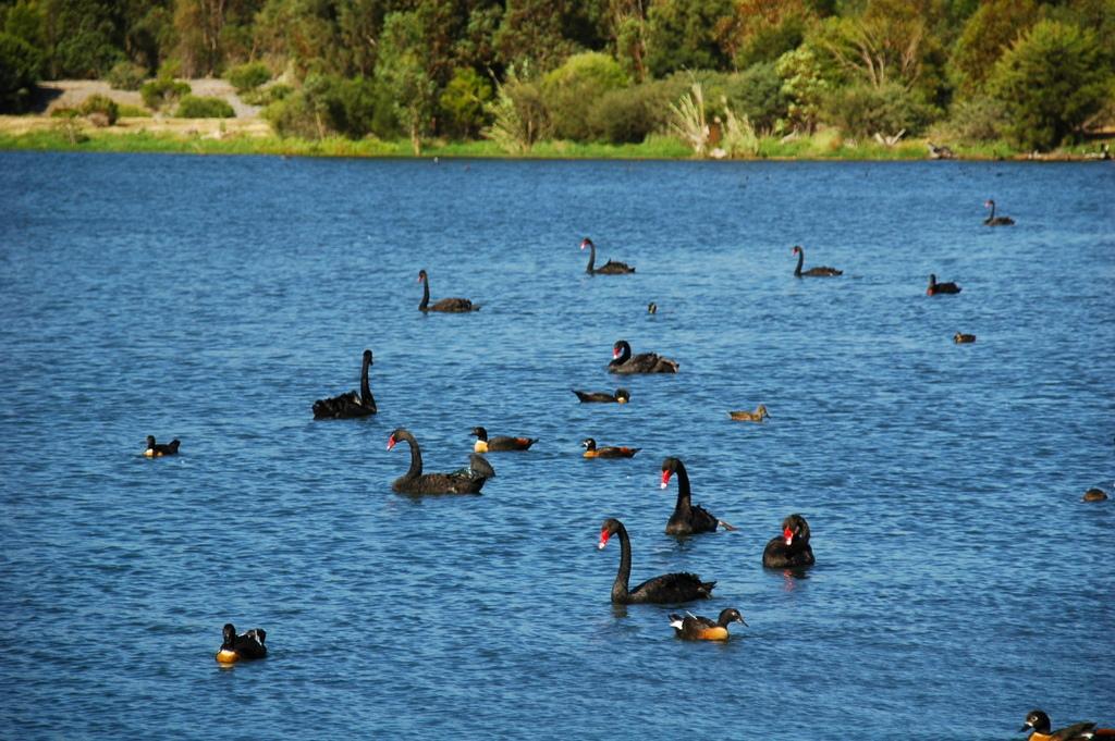 Perth家門前的黑天鵝湖