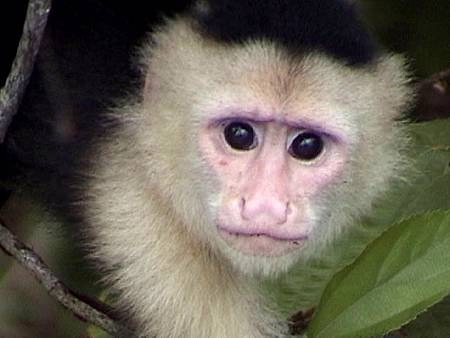 cute-capuchin-monkey-picture.jpg