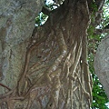 這個樹真壯觀