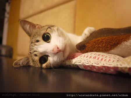 可愛的小貓咪