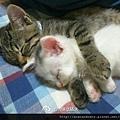 【可愛的貓貓】我的心願就是摟著你入睡...