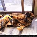 【可愛的貓貓】貓貓用脫毛梳