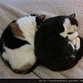 【可愛的貓貓】睡姿會傳染?「肥貓兄妹」動作一模一樣熟睡