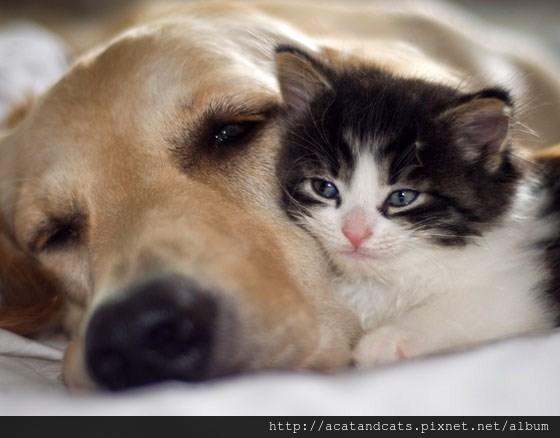 黃金獵犬用眼神央求主人:可以留下小貓嗎?