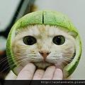 【可愛的貓貓】中秋節就是要戴柚子帽!