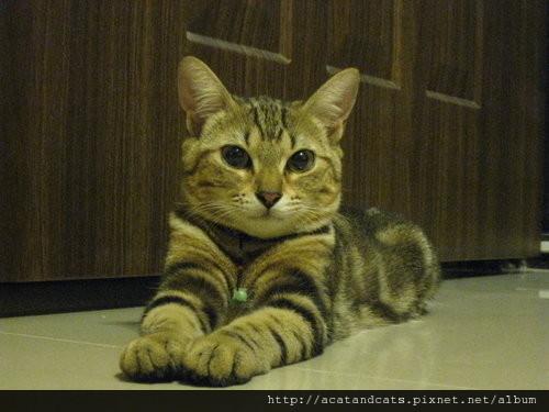 幫貓女兒做玩具 栽進手作貓跳台世界