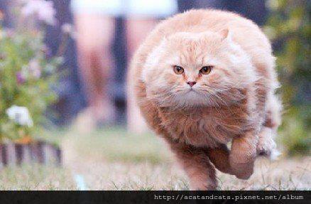 【可愛的貓貓】肉是一種精神,球形也是一種身材!