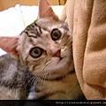 【可愛的貓貓】大眼貓貓眼睛大~萌翻了