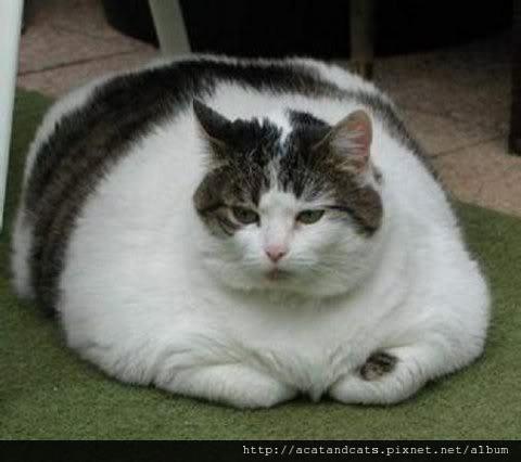 【超級肥肥貓】肥貓選美大賽 選出你最愛的肥貓