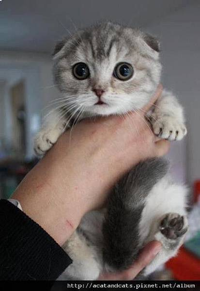 【摺耳貓】愛上摺耳貓