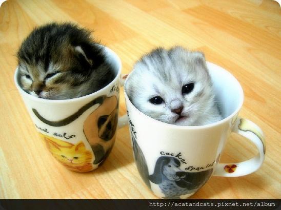 【可愛的貓貓】兩隻很小的貓~超迷你杯中型