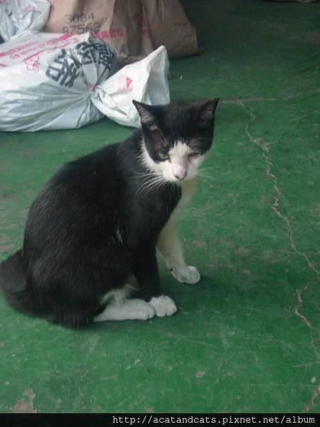 【貓 認養】請大家發揮愛心,踴躍分享幫小貓找主人!