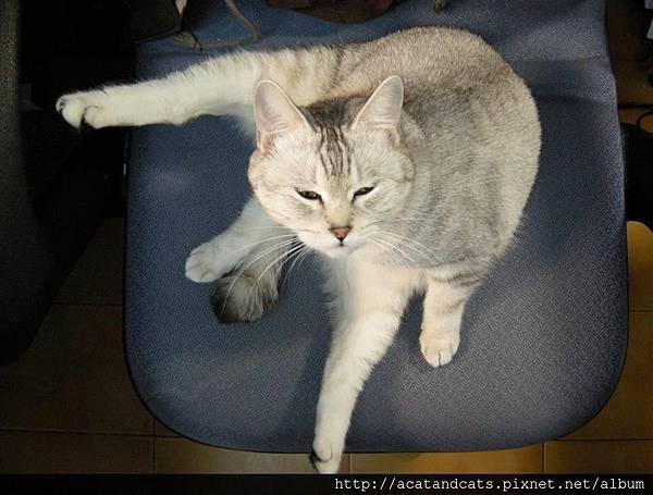 【可愛的貓貓】貓貓好腰力~~