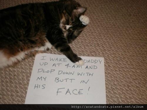 【可愛的貓貓】我清晨4點就起床,噗通一聲跳到床上,用屁股壓著主人的臉把他吵醒。