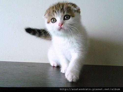 【可愛的貓貓】摺耳貓3