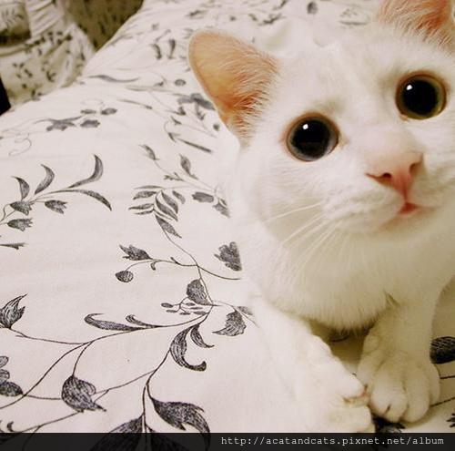 【可愛的貓貓】大眼貓貓真可愛