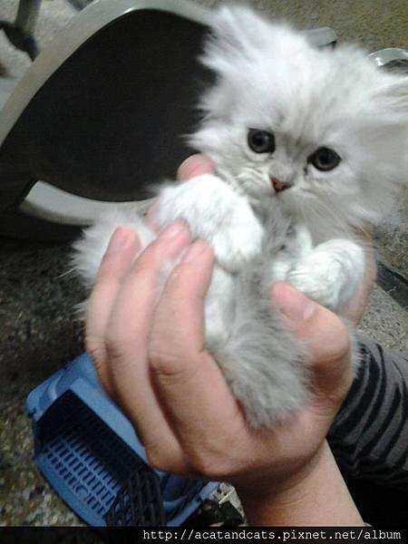 【可愛的貓貓】乾乾玩貓沙,最喜歡飛撲跟玩躲貓貓~
