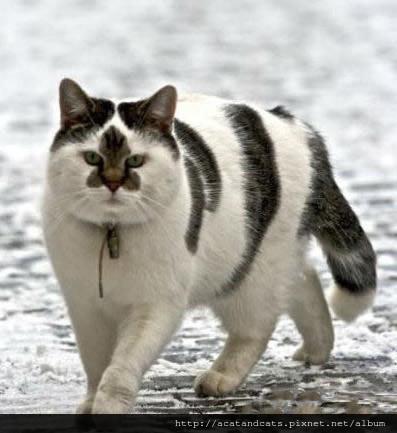 【可愛的貓貓】這才是花臉貓!這面相必須一統江湖!