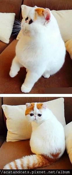 【可愛的貓貓】招牌式的45°側臉和奶油麵包一樣的尾巴!萌死了!