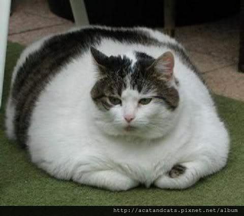 【可愛的貓貓】肥貓