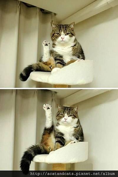 【可愛的貓貓】最近練了瑜珈,效果不錯吧~