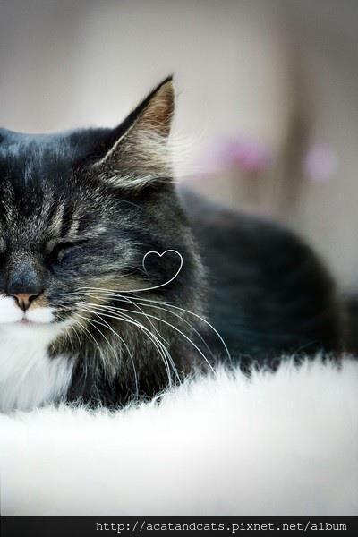 【可愛的貓貓】貓咪的鬍鬚毛有愛心狀