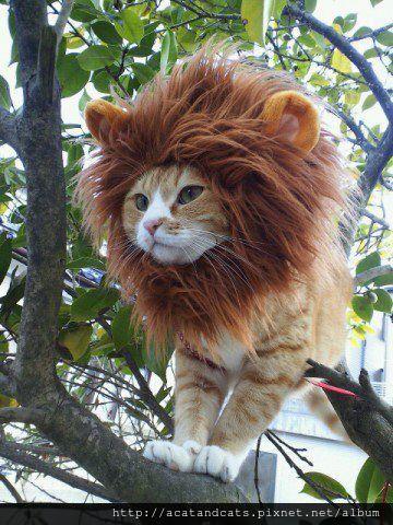 【可愛的貓貓】獅子