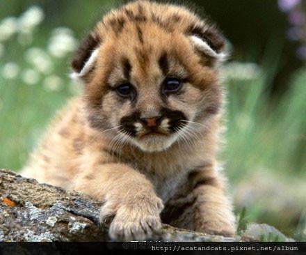 【可愛的貓貓】你一美洲獅,裝什麼折耳貓~~