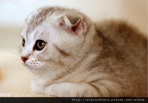 【可愛的貓貓】摺耳貓