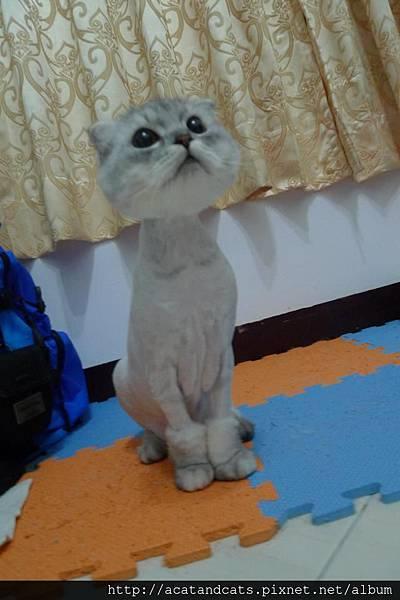 【可愛的貓貓】最近被老爸拖去剔毛後有點憂鬱