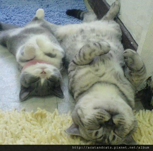 【可愛的貓貓】怎麼跟我睡的姿態一模一樣