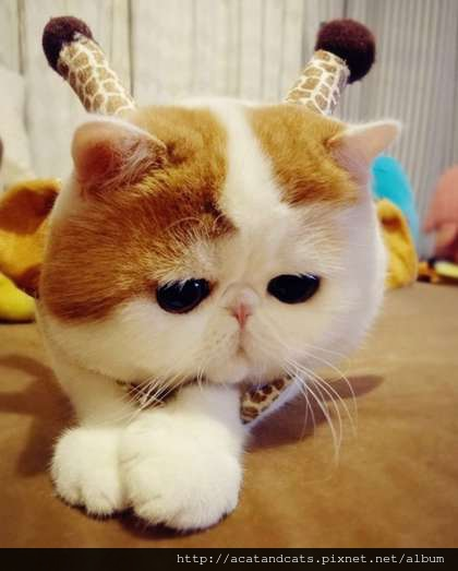 【可愛的貓貓】圓臉大眼珠,一臉無辜樣。翻攝網路