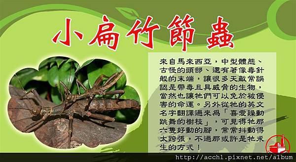 小扁竹節蟲 (Large)