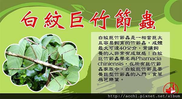 白紋巨竹節蟲 (Large)