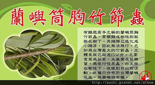 蘭嶼筒胸竹節蟲 (Large)