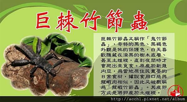 巨棘竹節蟲 (Large)