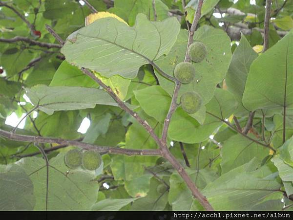 購樹的綠果 (Large)