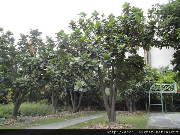 麵包樹的樹形2 (Large)